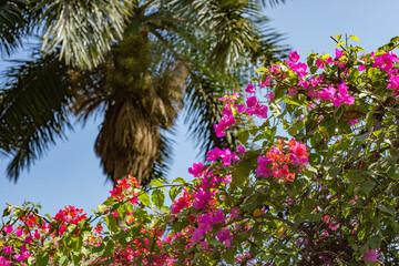 FototapetaPalm tree and pink bougainvillea