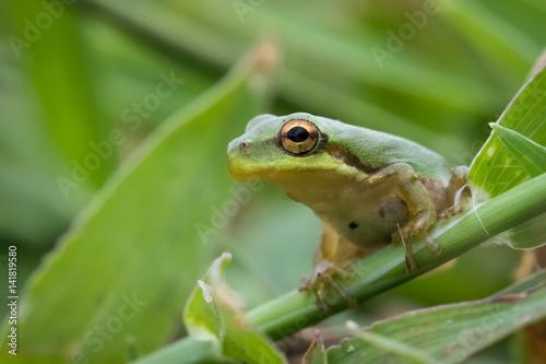 Tuinposter Kikker Small Tree frog