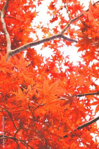 Foto op Canvas Baksteen 紅葉したモミジの葉の背景イメージ