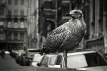 Proud Seagull Nestling Sitting...