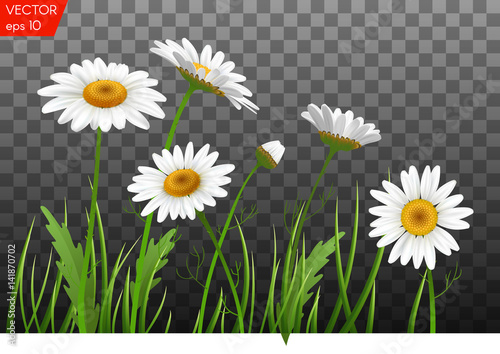 Fotografie, Obraz  Summer meadow with realistic daisy, camomile flowers on transparent background