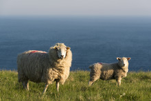 Portmagee, County Kerry, Munster Province, Ireland, Europe. Two Sheeps Grazing On The Hill With The Atlantic Ocean In The Background.