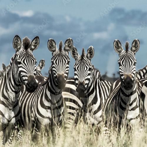 zebry-na-sawannie