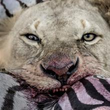 Lion Eating Zebra In Serengeti...