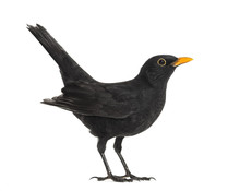 Side View Of A Blackbird, Isol...