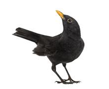 Blackbird Turdus Merula Lookin...