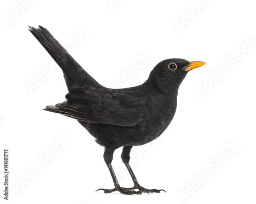 Side view of a blackbird, isolated on white Canvas Print