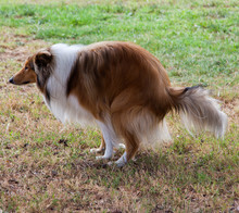 Rough Collie(dog) Is Shitting ...