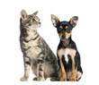 German Pinscher puppy , 2 months old and a cat , isolated on white