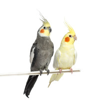 Two Cockatiel On A Metal Perch...