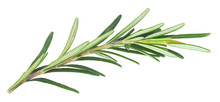 Fresh Rosemary Isolated In Closeup