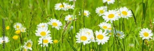 Photo sur Toile Marguerites Margeritenwiese - Banner