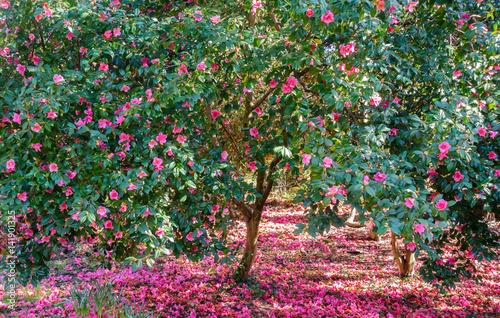 Plakat Piękni kwitnący kamelii drzewa pełno różowi okwitnięcia otaczający spadać różowymi kwiatami.