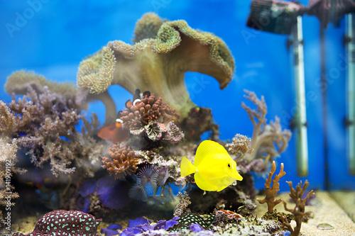 Láminas  Yellow tang fish in aquarium