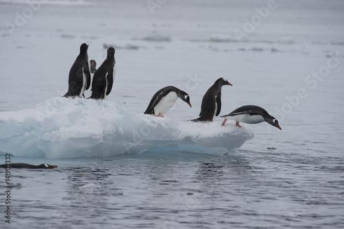 Foto auf Gartenposter Antarktika Gentoo Penguins walk on the ice