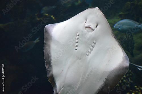 Fotografie, Obraz  Soft Underside of a Ray's Belly Up Close