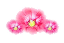 Pink Hollyhocks Flowers Isolated On White Background.(Soft Focus )