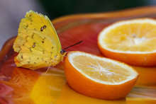 Cloudless Sulphur Butterfly Drinking From An Orange Slice In Phoenix; It's Yellow Color Melding With The Orange & Yellow Of The Fruit And Glass Table.