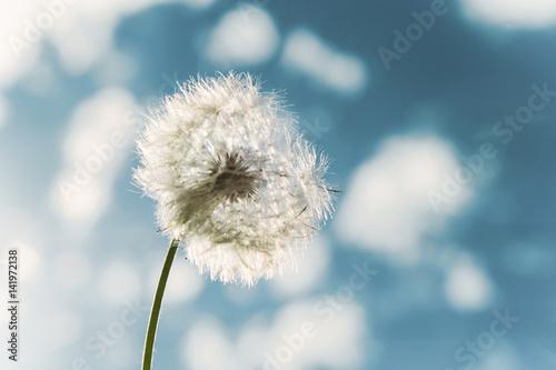 Fotografie, Obraz  Taraxacum Officinale - Flower