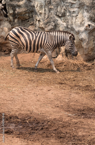 Papiers peints Hyène zebra animal in safari