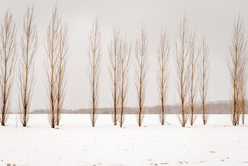 Panel Szklany Minimalistyczny Isolated tall slim skinny trees with snow forest background. Snow on ground with isolated trees in line. Abstract nature background. Winter season forest background. Black and white.