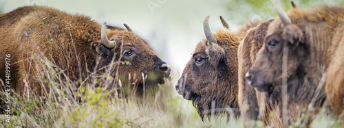Photo Stands Bison Bison bonasus - European bison - Milovice, Czech republic
