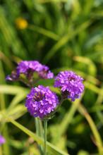 Verbena Homestead Purple Purpl...