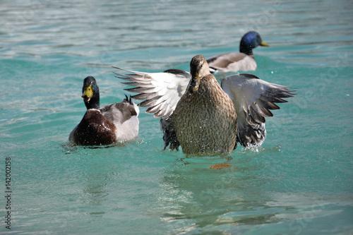 Fotografie, Obraz  Mallard Ducks. Anas platyrhynchos flying up
