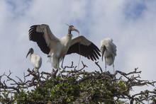 Family Of Wood Storks