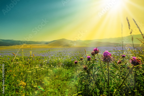 Photo sur Aluminium Jaune de seuffre Flowers on the Piana Grande, Castelluccio di Norcia, Umbria, Italy