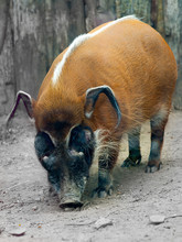 The Red River Hog Potamochoerus Porcus , Originated From The African Rainforests
