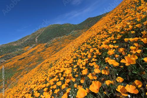 Plakat Kalifornia Złoty Makowy kwitnienie w piechura jarze, Jeziorny Elsinore, CA