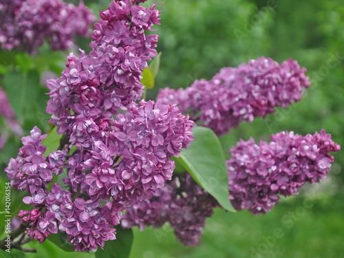 Foto op Plexiglas Lilac A brunch of lilacs on a spring day