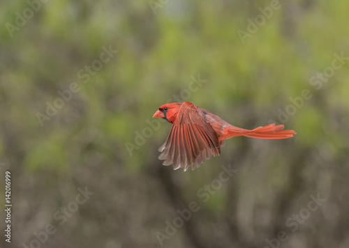 Photo  Red Bird Rising - A male cardinal in fllight with wings in an unusual position