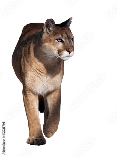 Foto op Canvas Puma Puma walking at camera isolated at the white