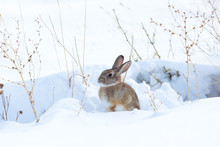 Cottontail Rabbit Crouching In...