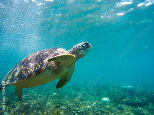 Foto op Plexiglas Schildpad Turtle swimming underwater