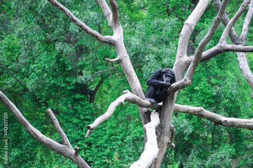 Fotografie, Obraz  Chimpanzee on the tree branch