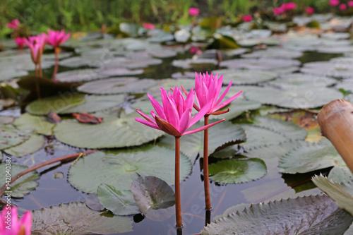 Deurstickers Waterlelies Pink lotus blossoms or water lily flowers blooming in pond