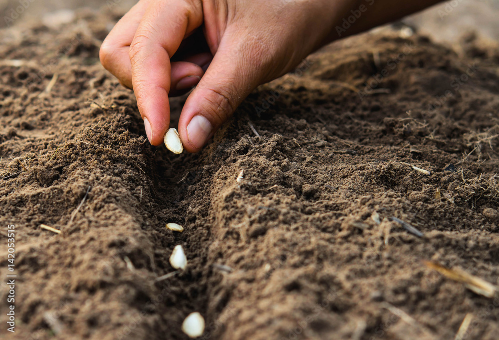 Fototapety, obrazy: Farmer's hand planting seed in soil