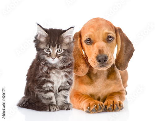Poster Chien Dachshund puppy and maine coon cat sitting together. isolated on white background