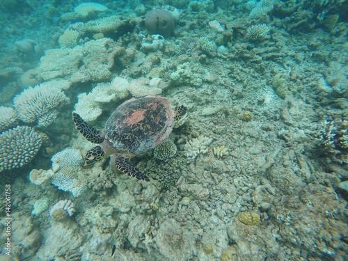 Poster Tortue Turtle swimming over maldivian coral reef, Ari Atoll