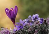 Fototapeta Kwiaty - Wiosenne kwiaty - przylaszczki i krokus