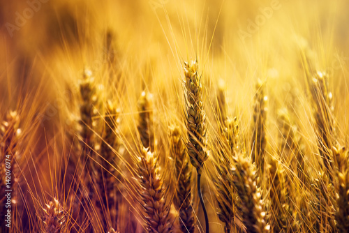 Foto-Leinwand ohne Rahmen - Golden wheat ears in field (von Bits and Splits)