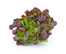 Green Oak Lettuce  Isolated On...