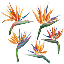 Strelitzia Reginae (bird-of-pa...