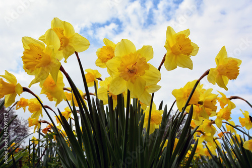 In de dag Narcis Daffodil