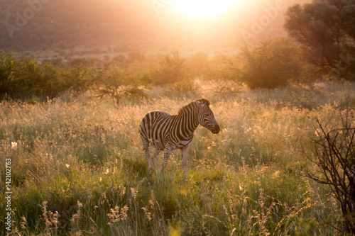 zebra-at-dawn
