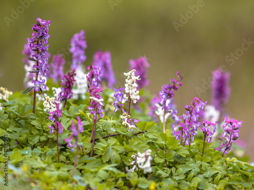 Foto  Blooming Hollowroot