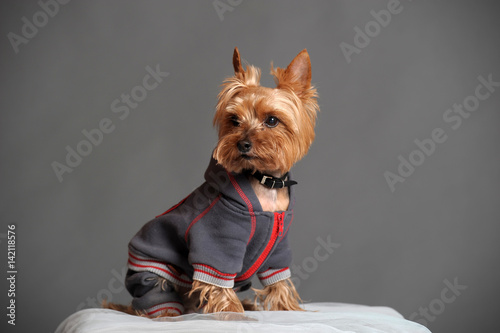 Photo Yorkshire terrier in clothes for dogs